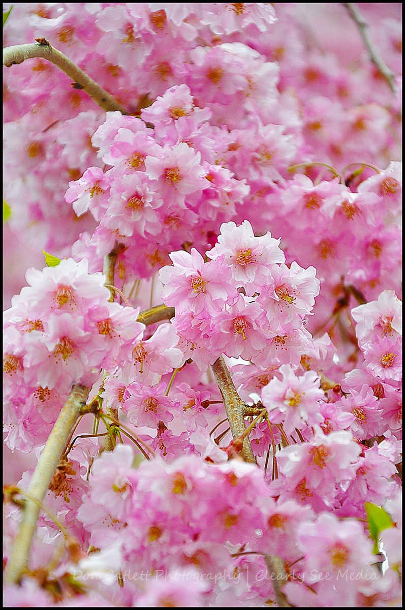 Cherry-Blossoms-02