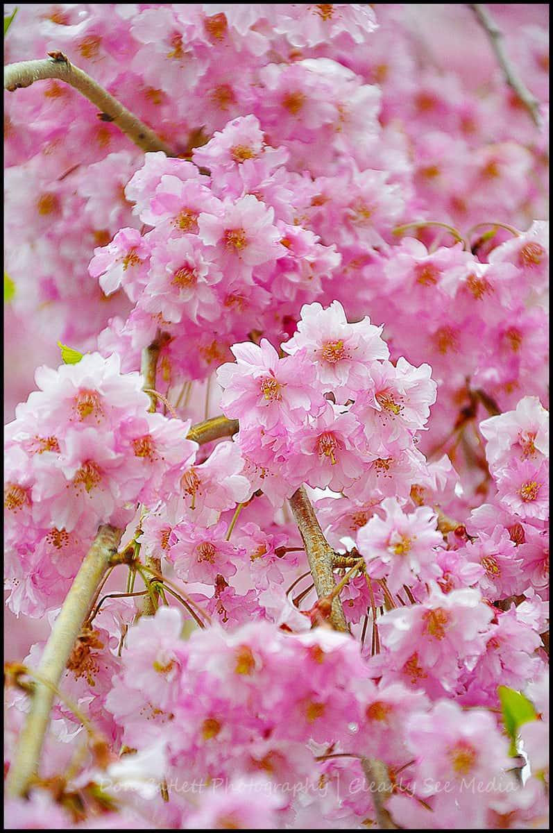 Cherry-Blossoms-02