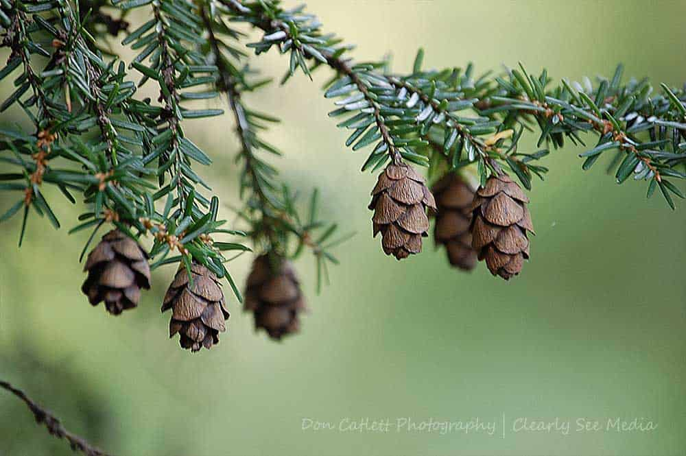 Pine-CLSEE