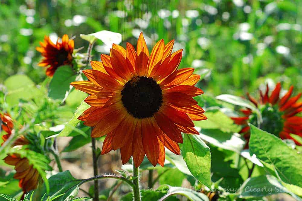 Sunflower-CLSEE